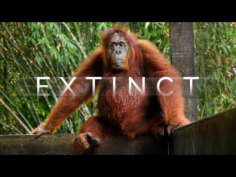 What Happens If Orangutans Go Extinct? - Borneo Travel Documentary