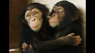 Rescued Baby Chimp Meets Other Babies for the First Time