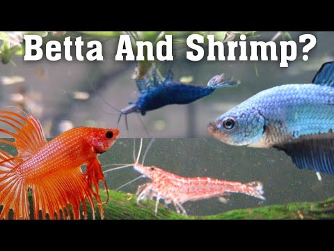 Can You Keep Shrimp With Betta Fish? (Fighting Fish)