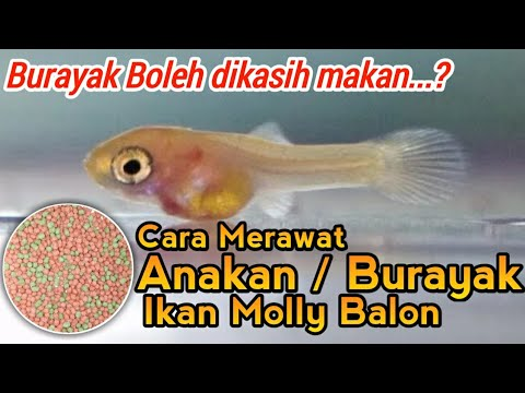 Cara Merawat Anakan Burayak Ikan Molly Balon Yang Baru Lahir Molly Fish Youtube