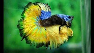Рыбка - петушок атакует!