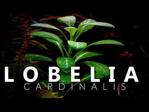 Lobelia Cardinalis Aquarium Plant