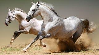 Красивые лошади(очередной клип про любимых лошадок:) Музыка: Romeo et Juliette -- Les Rois du Monde., 2012-10-07T16:08:43.000Z)
