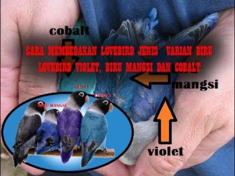 CARA MEMBEDAKAN LOVEBIRD VIOLET, MANGSI, DAN COBALT (Lovebird Biru)