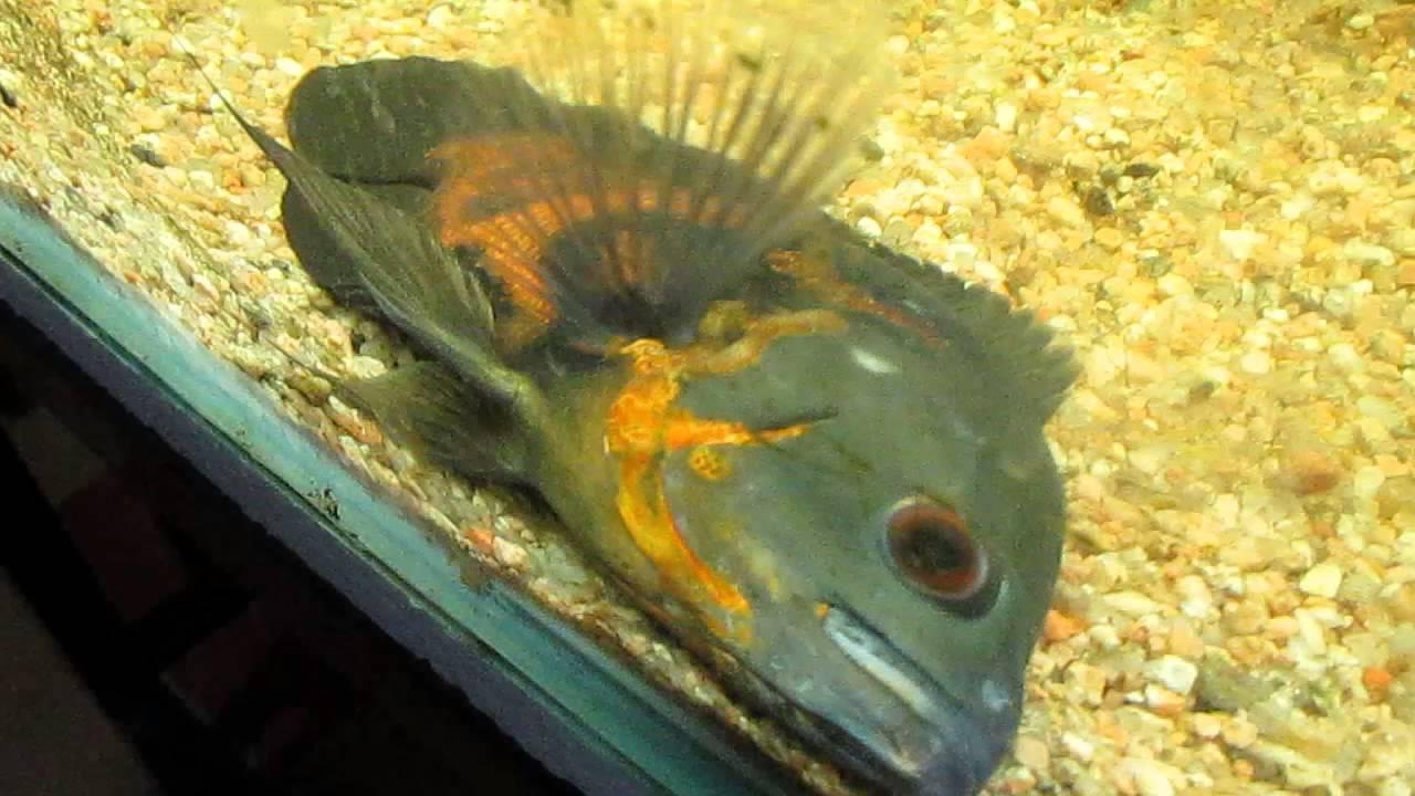 Fotos de pez oscar 50