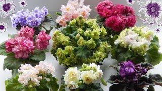 ЦВЕТЕНИЕ ФИАЛОК НОВИНОК 🌿 Сорта фиалок 🌿 Красивые цветы