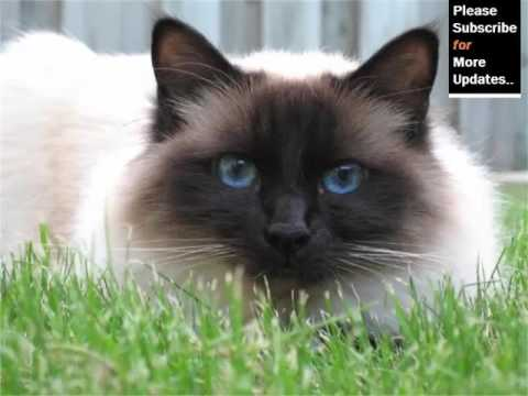 Birman - Cat Pictures