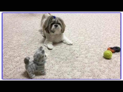 Lacey's happy dance 😍 | Older dog toys | Zoomies 💨 | Cute Shih Tzu 🐾