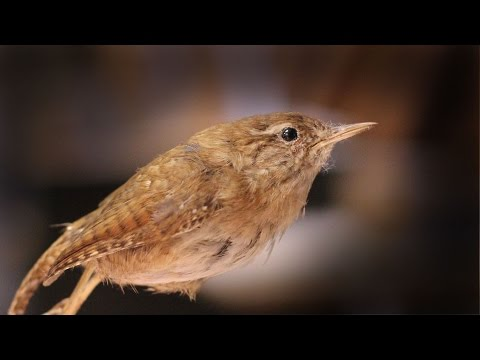 The Wren, King Of All Birds: Pagan Tradition In The Isle Of Man
