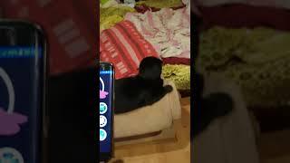 Кошачий переводчик с кошачьего языка на человеческий