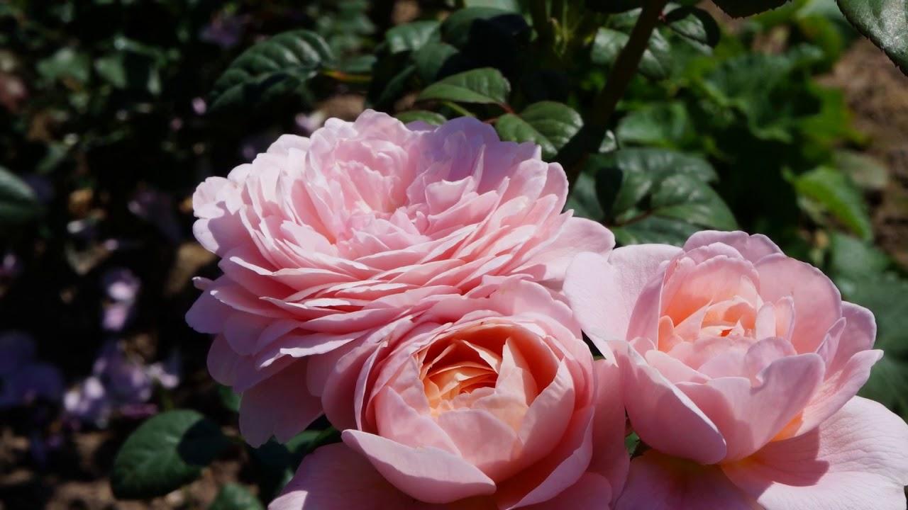 Queen Of Sweden Rose David Austin Youtube