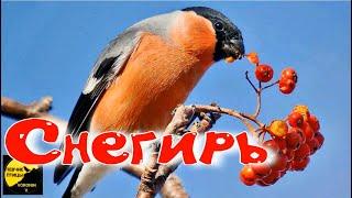 Снегирь Описание и факты Pyrrhula Pyrrhula Bullfinch