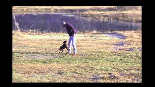 Retriever Puppy Must Be Wild To Retrieve First Before Starting Obedience