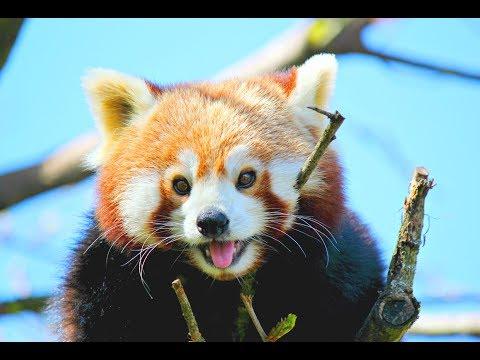 ЧУДО зверь красная панда! от GS