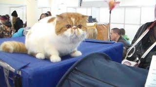 Кот Экзот, Няшный котик, Породы кошек