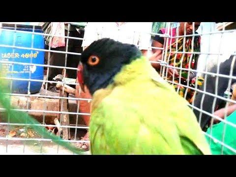 GALIFF STREET KOLKATA PET MARKET DEC VISIT | INDIAN PARROT