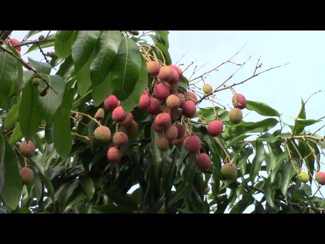 MVI_4171 2021May19: Thảm Thương! 10 Năm Không Ăn Được Một TRÁI VẢI Ngon Đúng | Vườn Trái Cây ở Mỹ