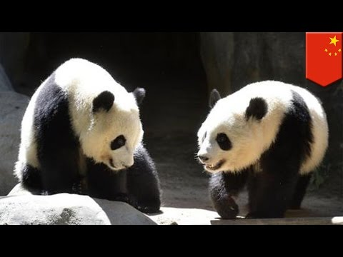 Atlanta-born giant pandas sent to China only understand English, prefer American food - TomoNews