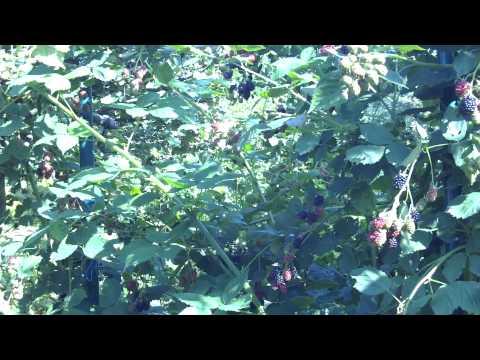Выращивание и уход за бесшипной садовой ежевикой сорта Торнфри. Обрезка ежевики осенью видео
