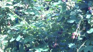 Выращивание и уход за бесшипной садовой ежевикой сорта Торнфри. Обрезка ежевики осенью видео(Ежевика бесшипная - высокая урожайность и проста в уходе сорта Торнфри. Подготовка ежевики на зиму - обрезка..., 2014-07-22T05:50:30.000Z)