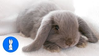 Cutest Bunny Rabbits Thumping Compilation