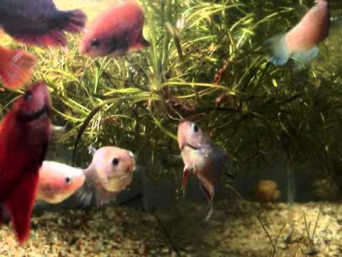 Cria o de bettas youtube for Betta fish natural environment