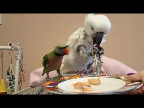 Cockatoo Refuses To Eat Dinner or Share Her New Toy | PARROT VIDEO OF THE DAY