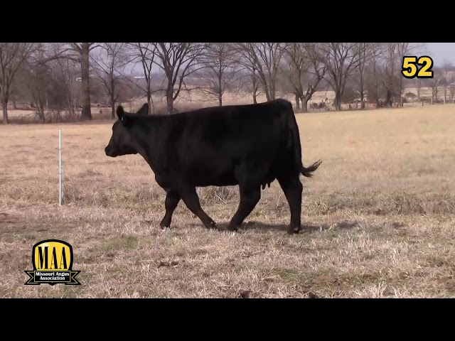 Missouri Angus Futurity Lot 52