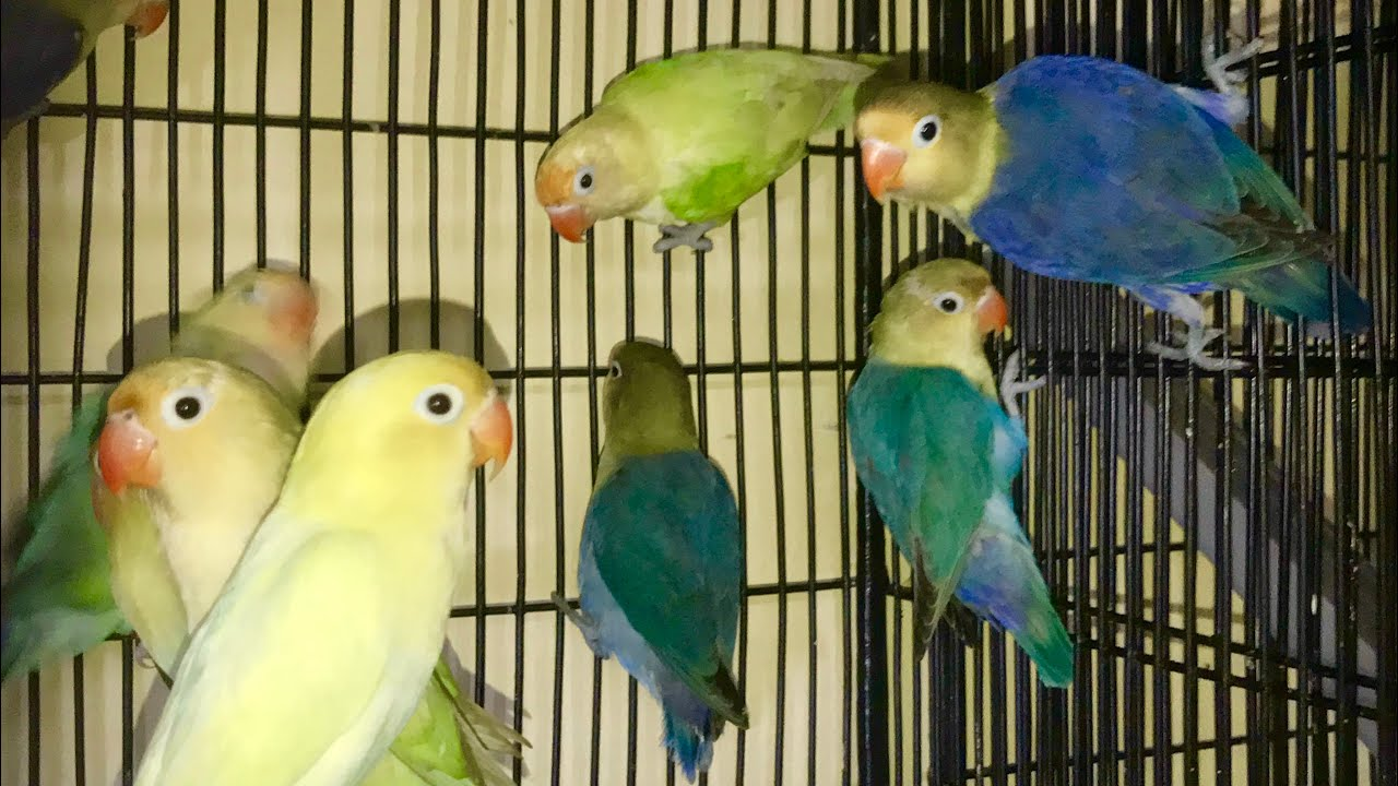 Parblue Lovebirds High Mutation Blue Series Double Factor 2018 Youtube