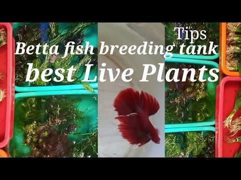 Betta fish breeding tank good live plants.  Fighter fish breeding tank good plants . Betta Lover.