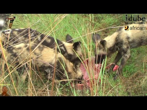 African Painted Dogs Catch A Warthog