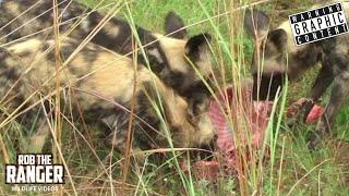 Wild Dogs Kill A Warthog