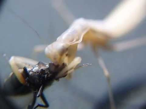 Mantis Eats Fly, Micro Filming!