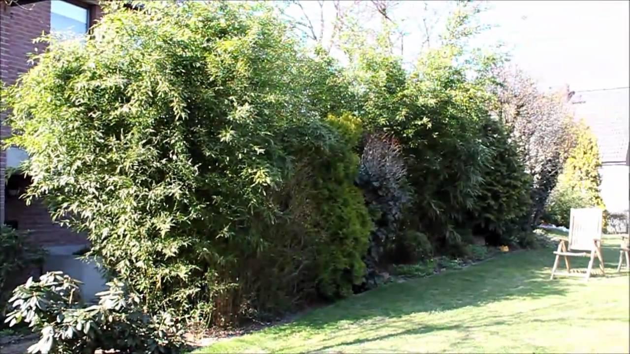 Bambus Bambuseae Immergrner Sichtschutz NewWonder555