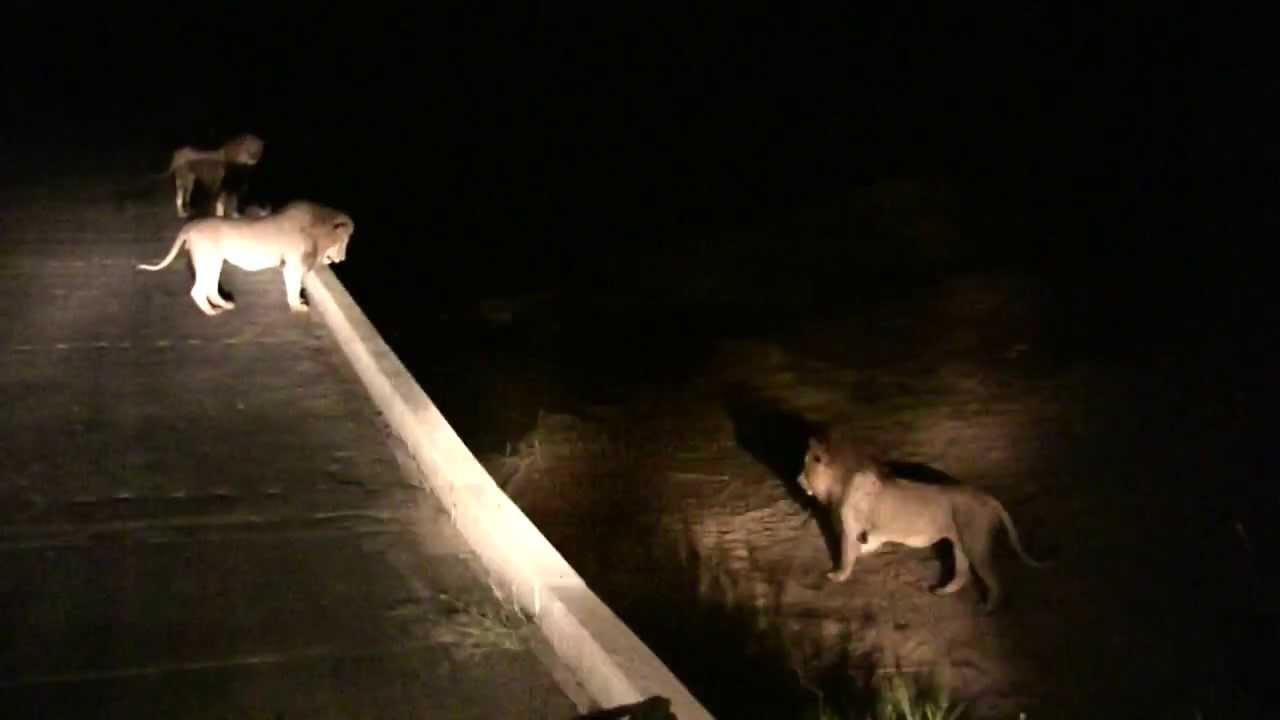 3 Lions vs 1 Lion - Lower Sabie Night Drive - 2013/08/21