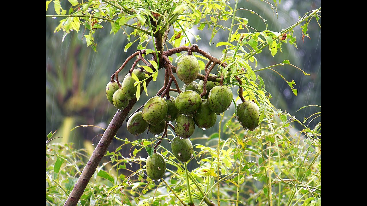 How to plant Hog plum in a container YouTube