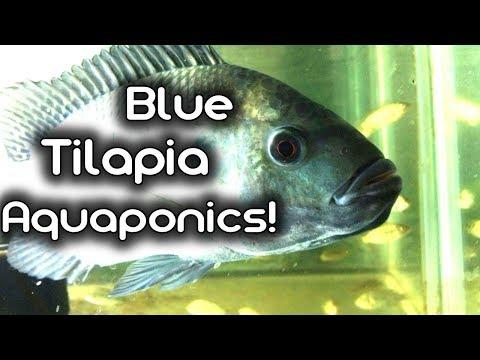 Adding Blue Tilapia to my Aquaponics!