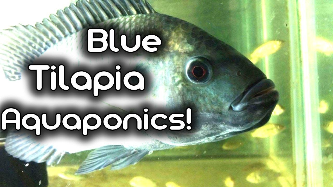 Adding Blue Tilapia To My Aquaponics