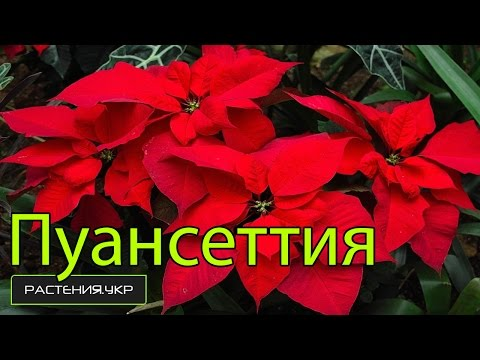 Рождественская звезда / пуансетия уход в домашних условиях