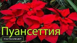 видео Комнатный цветок пуансетия, как ухаживать за растением