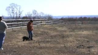 Akc Tracking - Maura The English Cocker Spaniel