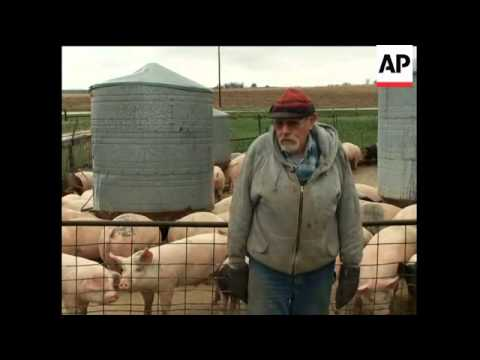 AP report from two pig farms about attitudes and fears regarding swine flu