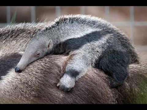 Baby Anteater at the Santa Ana Zoo - UC Irvine