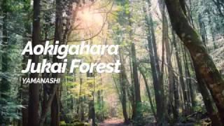 Aokigahara Jukai Forest,Yamanashi   Japan Travel Guide