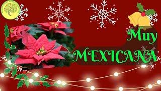 Historia y cuidados de la nochebuena (Euphorbia pulcherrima)