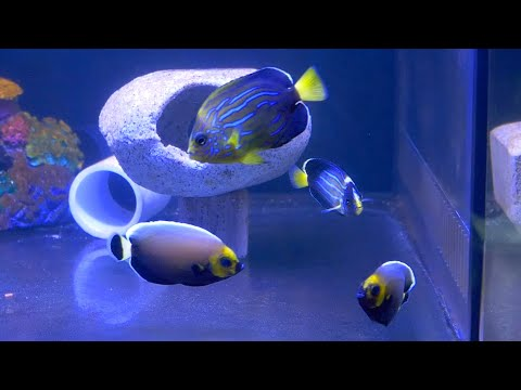 Vlog 22: RARE Angelfish Unboxing From Poma Labs