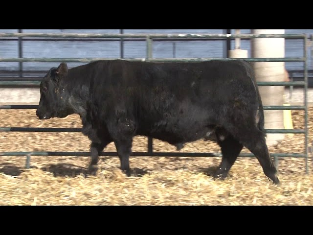 Schiefelbein Angus Farms Lot 232