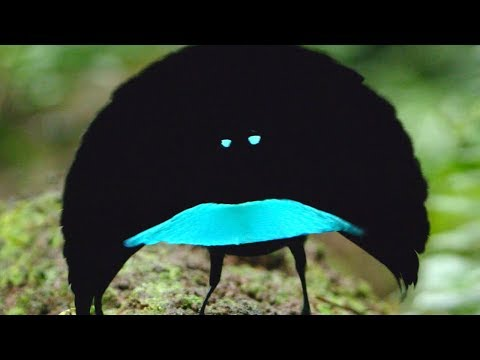 New species of superb bird-of-paradise has special dance moves