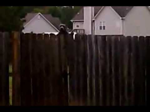 pitbull  dog jumps over 6 foot  fence
