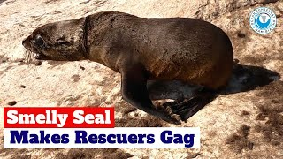 Smelly Seal Makes Rescuers Gag